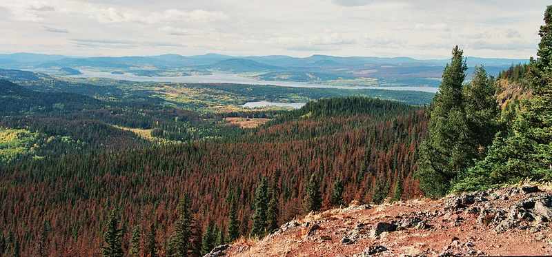 File:Mt Fraser - Pine Beetle Damage.JPG