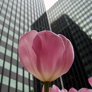 Tulips are common in urban landscaping, as see...