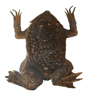 A female surinam toad (Pipa pipa) in the Natur...