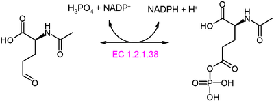 N-アセチル-γ-グルタミルリン酸レダクターゼ - Wikipedia