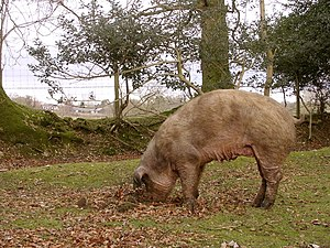 Rooting pig north of the North Bentley Inclosu...