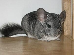English: Photo of a standard gray chinchilla.
