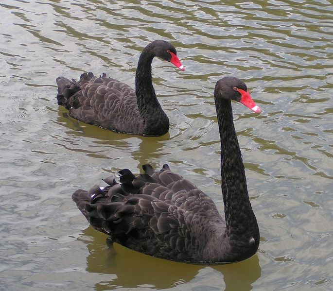 File:Black Swans.jpg