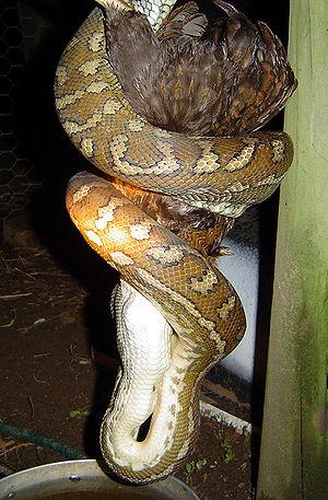 A carpet snake (Morelia spilota variegata) eat...