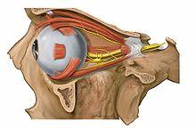 Anhangsorgane des Auges