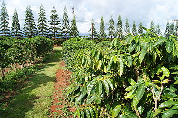 English: Coffee plantation in Kauai