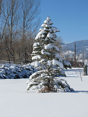 Colorado Blue Spruce covered in snow