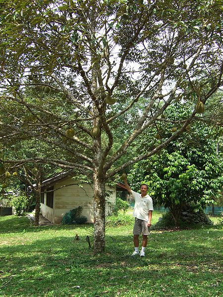 This is a durian tree