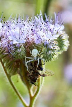 Veränderliche Krabbenspinne auf violetter Blüte