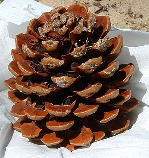 Pine cone with nuts