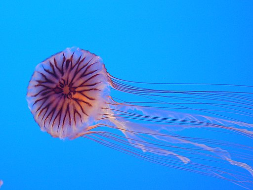 Chrysaora hysoscella from Enoshima Aquarium