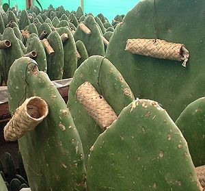 English: Breeding of the Cochineal (Dactylopiu...