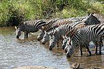 Böhm-Zebras (Equus quagga boehmi), Serengeti-Nationalpark, Tansania