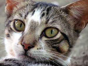Español: Cara de un gato domestico