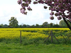English: Green Belt, Felthamhill Rapeseed fiel...