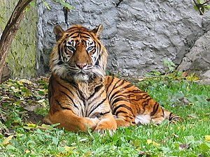 English: Panthera tigris sumatran subspecies. ...