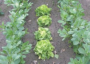 Vicia faba and lettuce