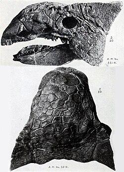 Tengkorak Ankylosaurus. Specimen ini dari Edmonton Formation of Alberta.