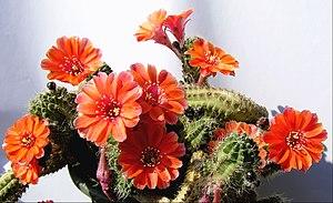 English: Peanut cactus (Echinopsis chamaecereu...