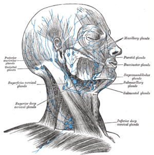 Lymph Nodes of the head and neck, from Gray's ...