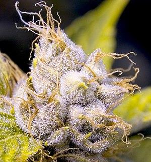 A closeup picture of a female OG Kush plant, a...