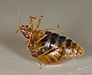 One bedbug (Cimex lectularius) traumatically i...
