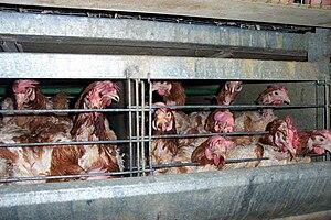 hens in a battery farm
