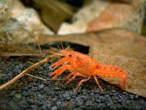 Cambarellus patzcuarensis var. Orange