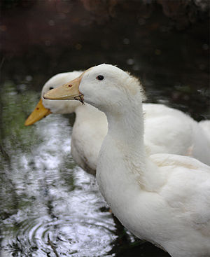 Domesticated ducks. Sydney, Australia.