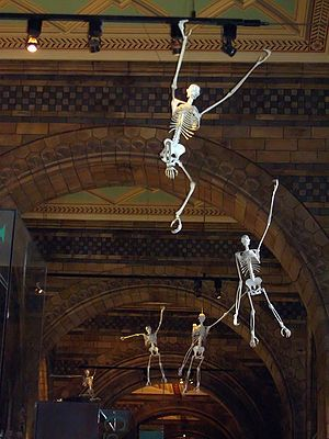 Hanging skeletons in the Natural History Museu...