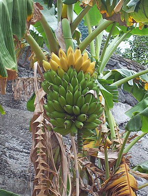 Bananas on a banana tree. Personnal photo, fre...