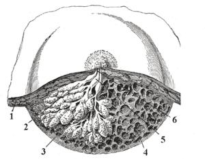 Lactiferous duct