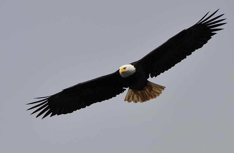 File:Haliaeetus leucocephalus -Alaska, USA -flying-8.jpg