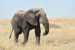 serengeti national park (tanzania, africa), au...