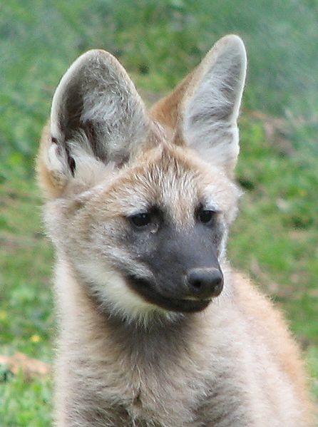File:Maned Wolf Pup Image 001.jpg