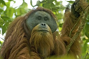 Individu mâle de Pongo tapanuliensis