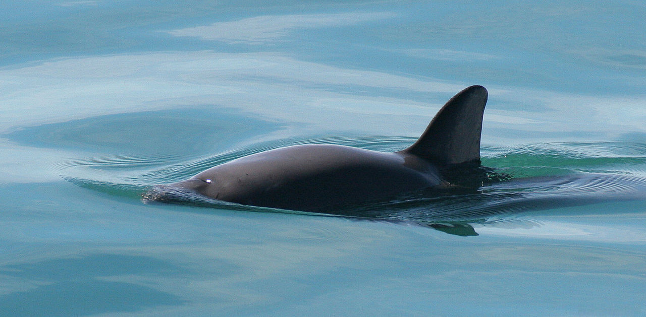 vaquita marina, baja peninsula dolphins, fishing trade hurts dolphins, dolphin hunting,