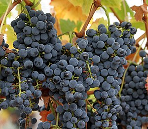 Grapes ripening on the vine.