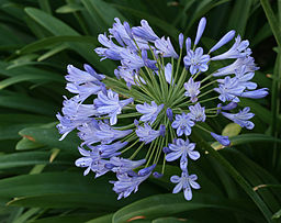 List Of Flower Names A To Z With Pictures  Common And Easy To Grow     Agapanthus Postbloom