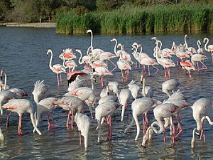 Flamingos in the Camargue, photographed 2004 b...