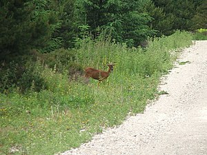 English: Deer in Cropton Forest. Whenever I wa...