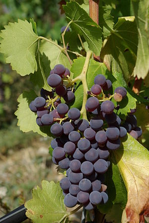Français : Grenache, grape variety
