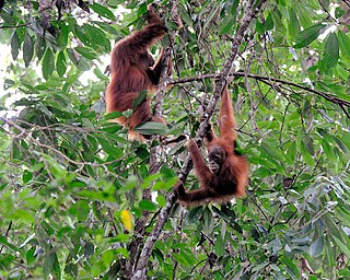 Orangutans in Sumatra. Image via Wikipedia.