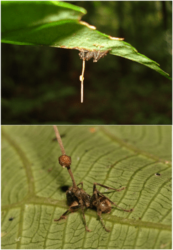 Ophiocordyceps unilateralis.g001.png