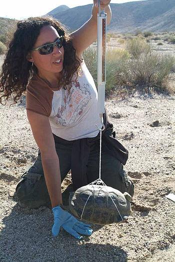 Biologist Dr. Paula Khan weighs a desert torto...