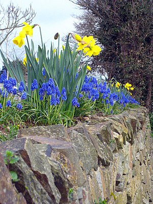 English: Spring's arrived! Colourful daffodils...