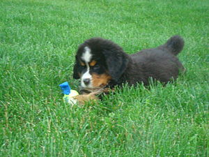 Bernese Mountain Dog, puppy, 7 weeks old
