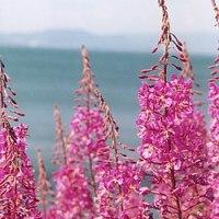 Kiprovina - biljka koja leči rak prostate