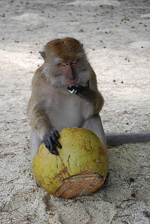 monkey in langkawi island
