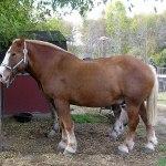 Belgian Horse Wikipedia